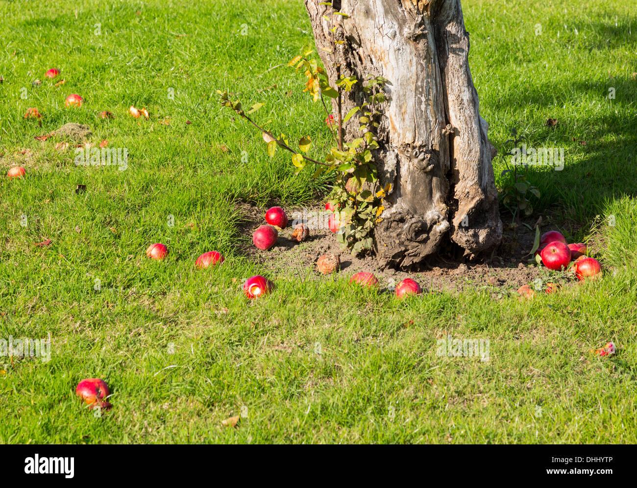 Gefallenen Äpfel aus einem Apfelbaum in einem Obstgarten Stockbild
