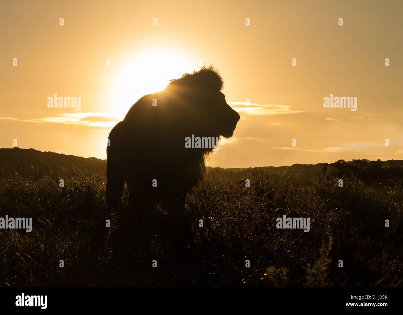 Silhouette einer alten großen männlichen Löwen in der Savanne in Südafrika bei Sonnenuntergang Stockfoto