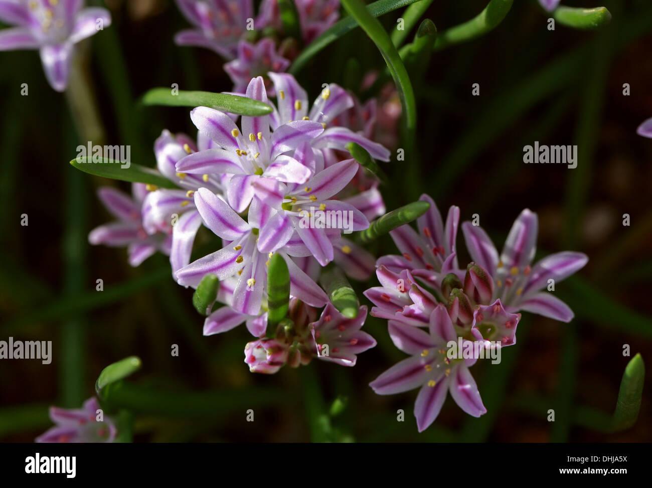 Polyxena Corymbosa, enthält, Asparagaceae (Hyacinthaceae). Südafrika. Stockbild