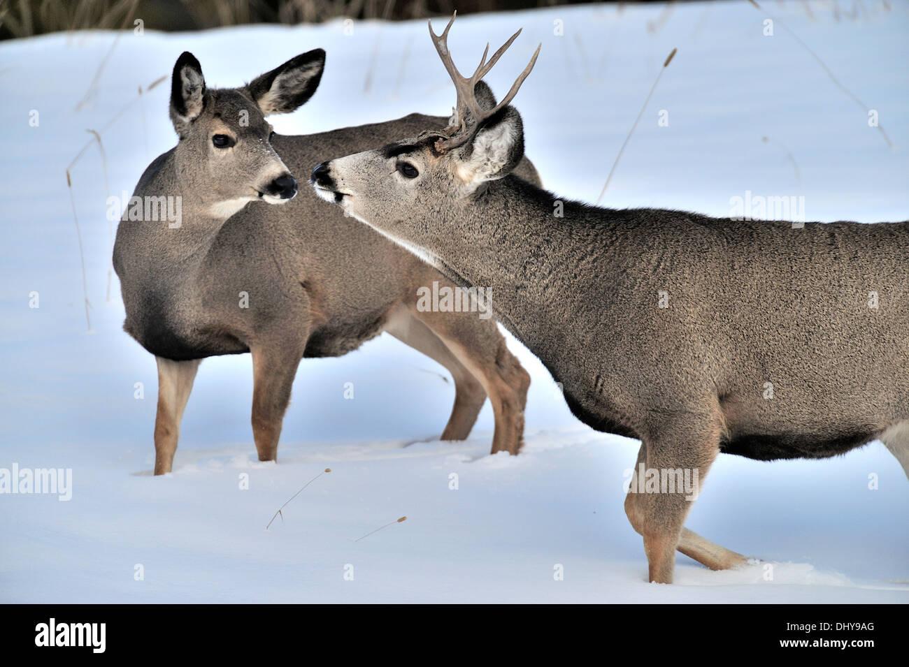 Mule Deer Buck und Doe miteinander interagieren Stockbild