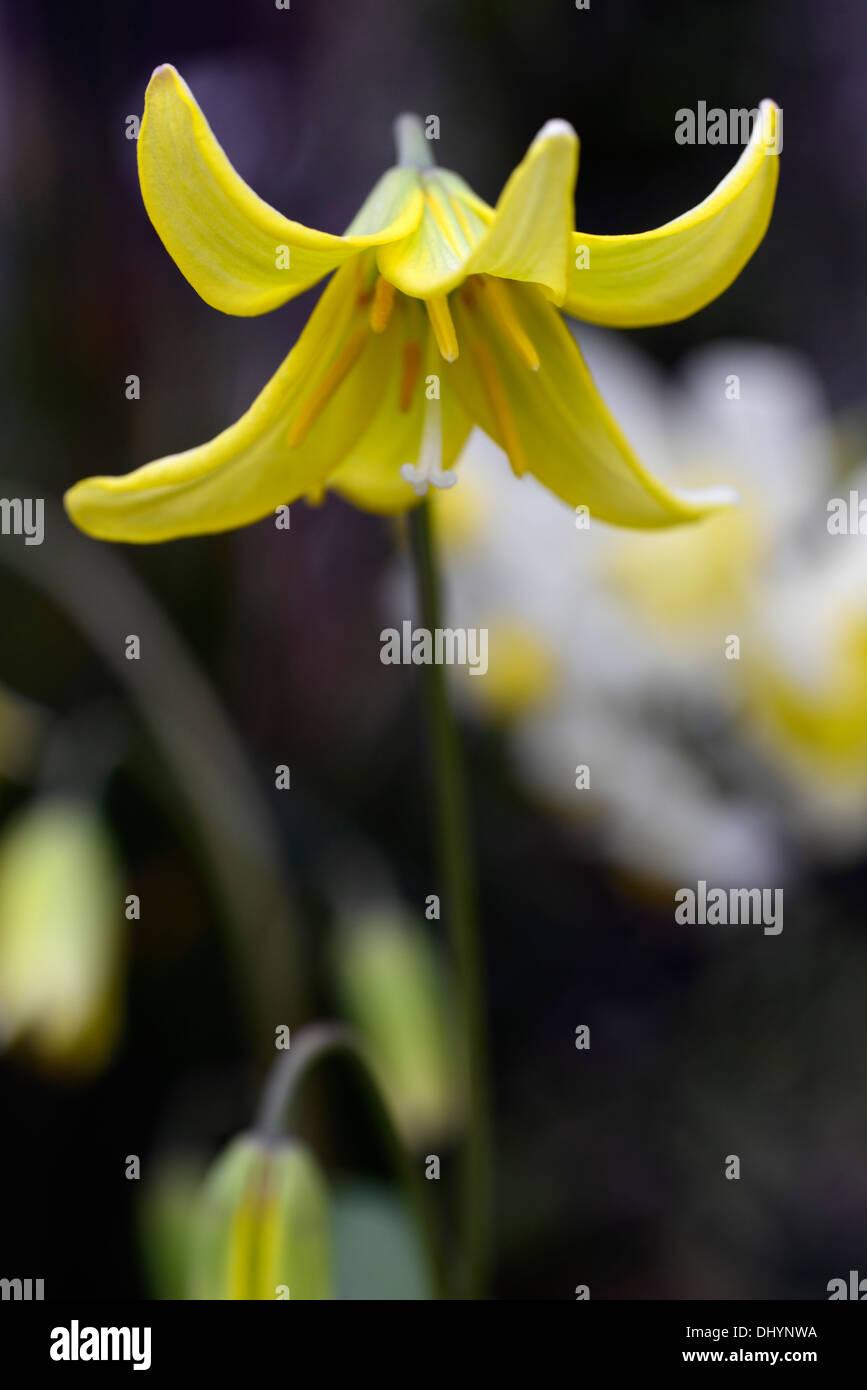 Erythronium Pagode Fawn Lily Dogstooth Violett Gelb Frühlingsblumen ...