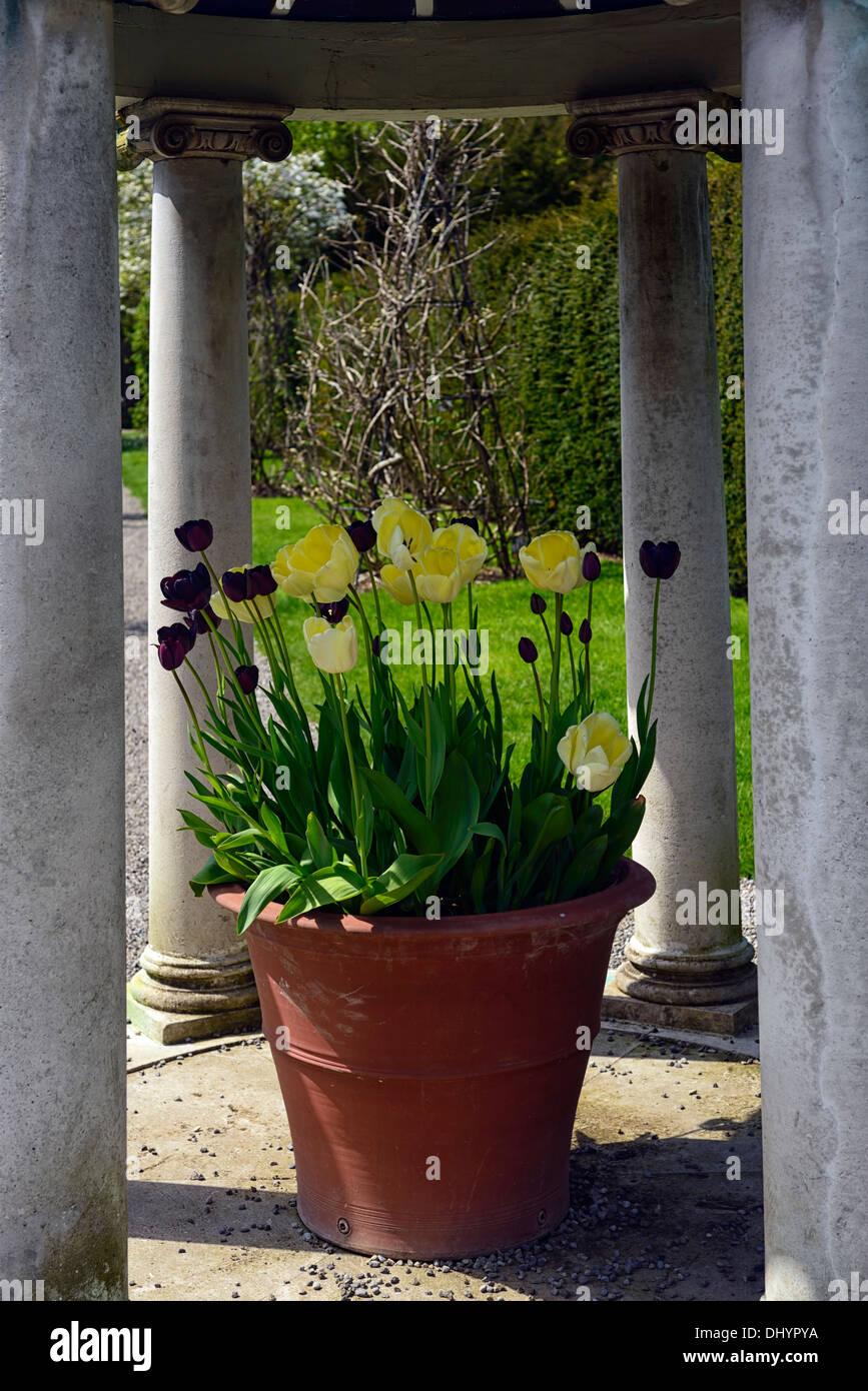 creme violette tulpen gro e terrakotta topf container pavillon farmleigh phoenix park dublin. Black Bedroom Furniture Sets. Home Design Ideas