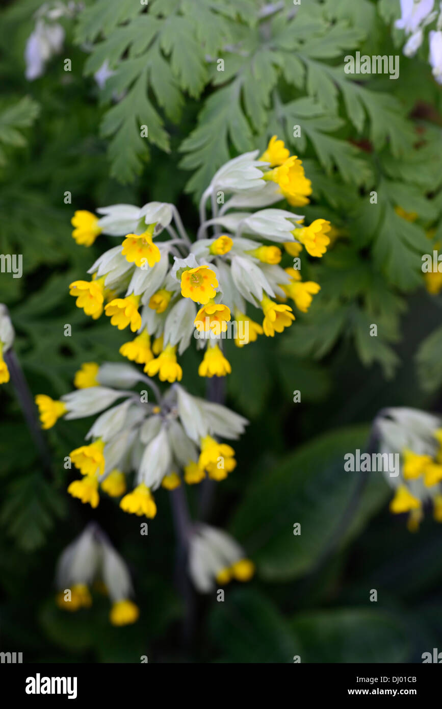 primula veris cowslip yellow spring stockfotos primula veris cowslip yellow spring bilder alamy. Black Bedroom Furniture Sets. Home Design Ideas