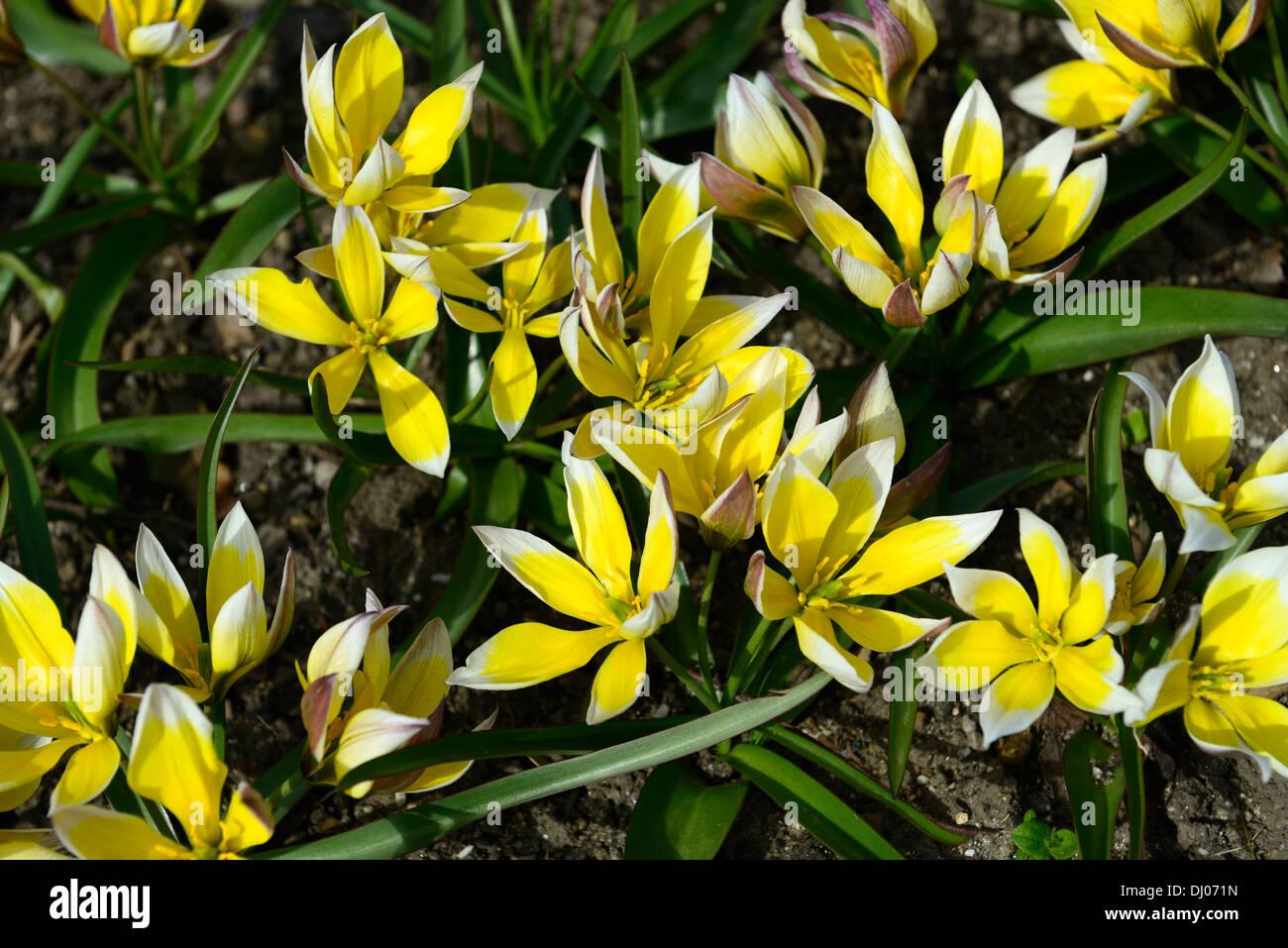Tulipa Tarda Dasystemon Tulpe Arten Gelbe Zitrone Creme farbigen farbigen Farbe Farbe Blume Blüte Blüte Zwerg Klumpen bilden Stockbild