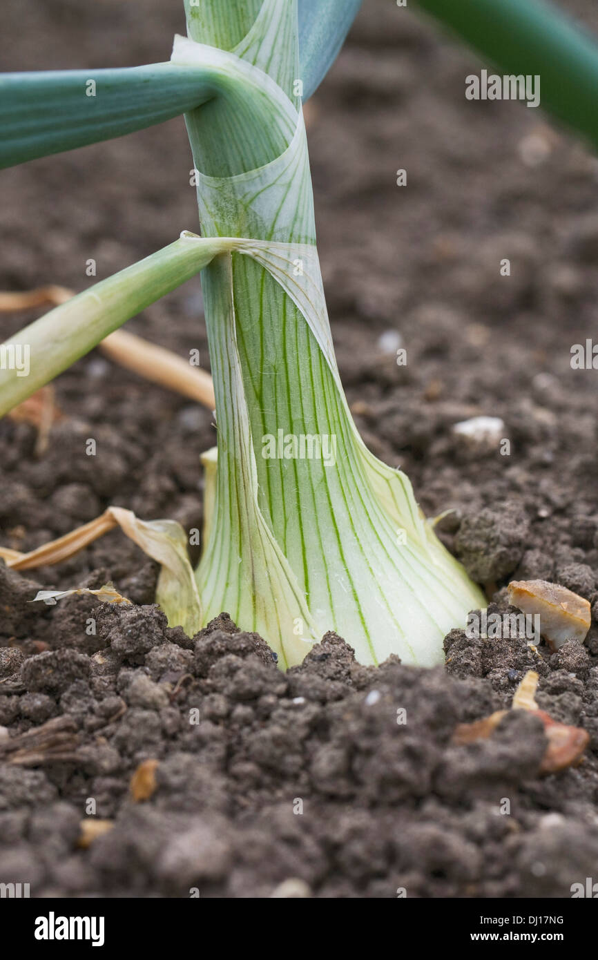 "Allium Cepa ""Vulcan"" in das Gemüse Garten wachsen. Stockbild"