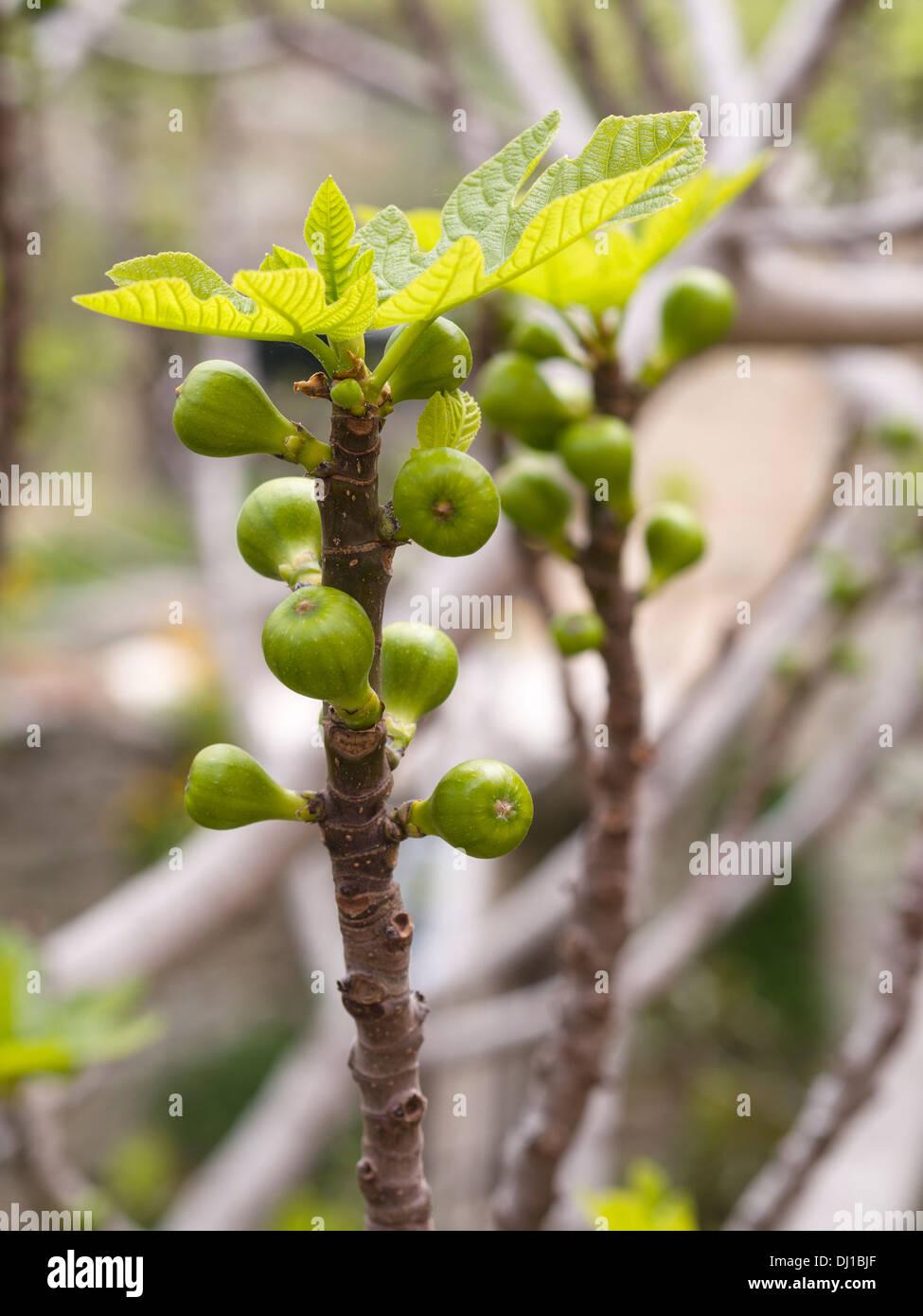 Junge Feigen. Unreife Feigen Frucht auf dem Ast. Stockbild