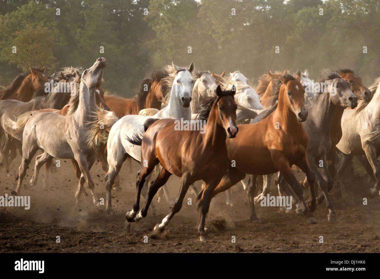 Herde  Arabische Pferd Arabian Horse Herde Junghengste galoppieren ...