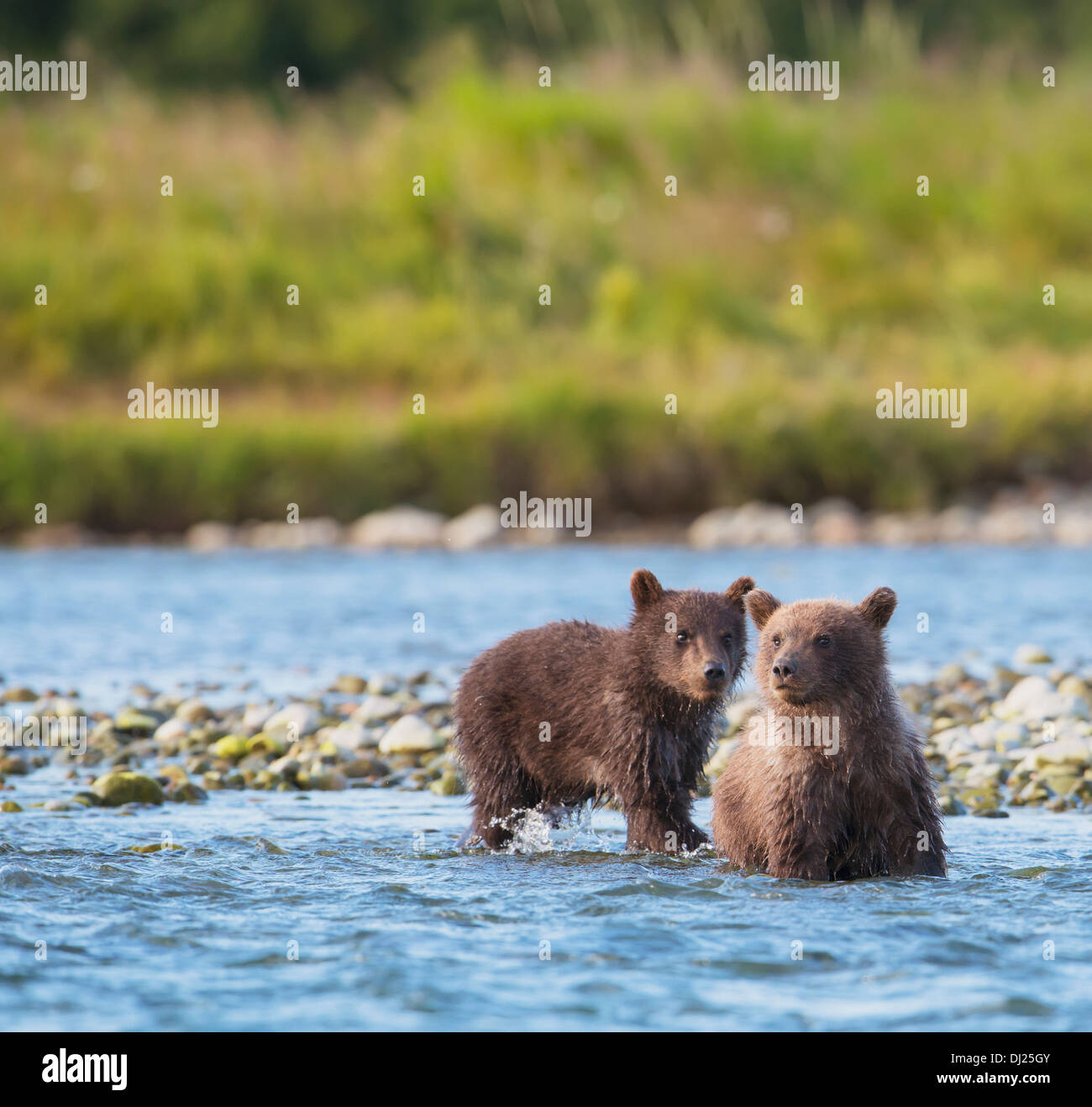 Brown Bear Cubs Angeln auf Lachs In Mikfik Creek, Mcneil River State Game Sanctuary, Südwest-Alaska, Sommer Stockfoto