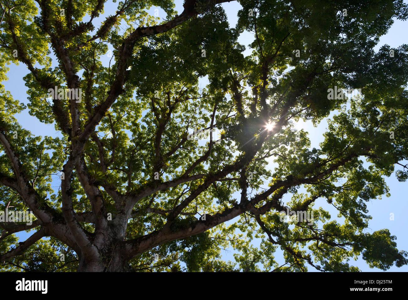 Mahagonibaum  Große tropische Mahagoni-Baum in Costa Rica mit Sonne durch ...