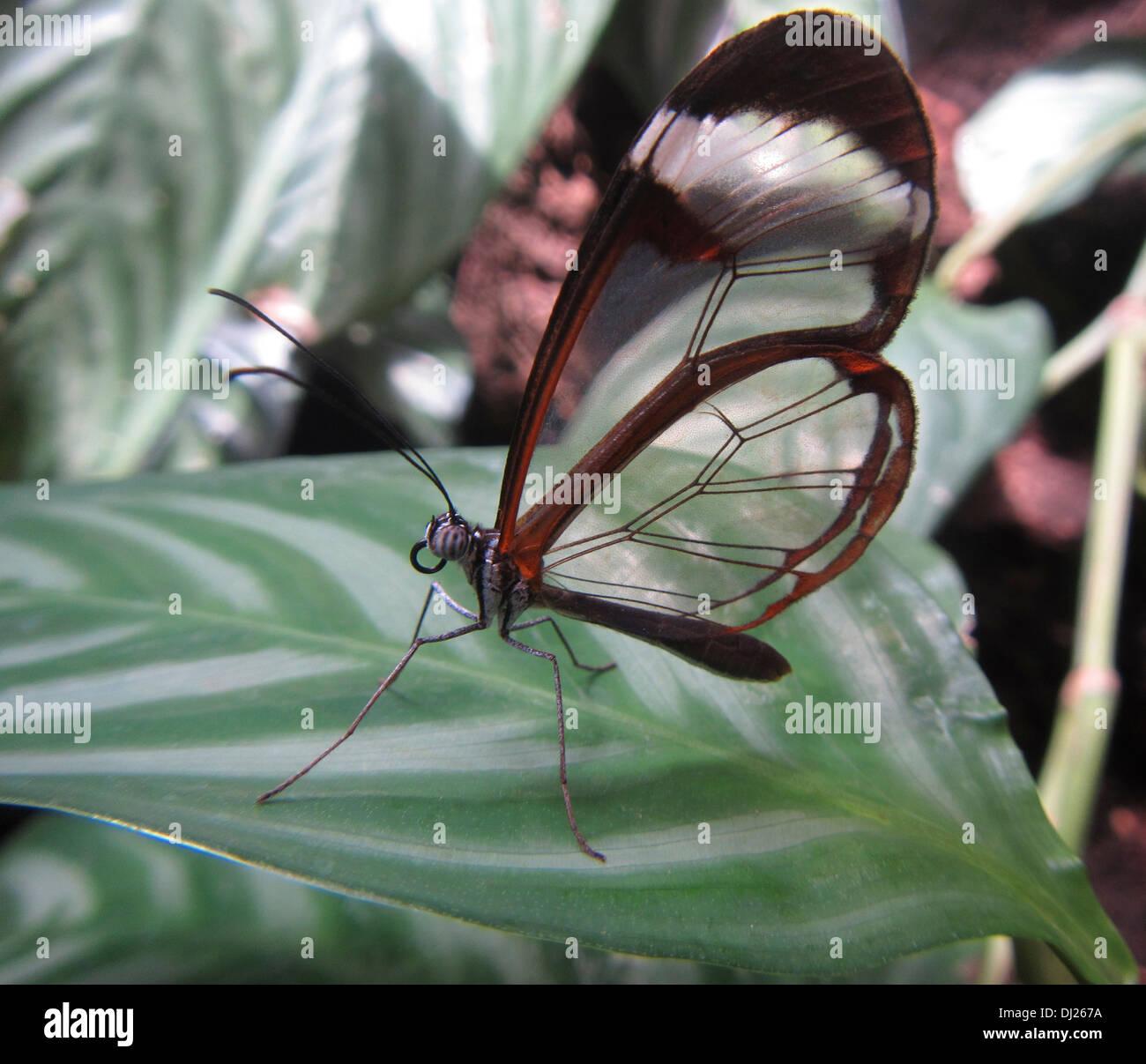 Nahaufnahme von einem Glasswing Schmetterling Stockbild
