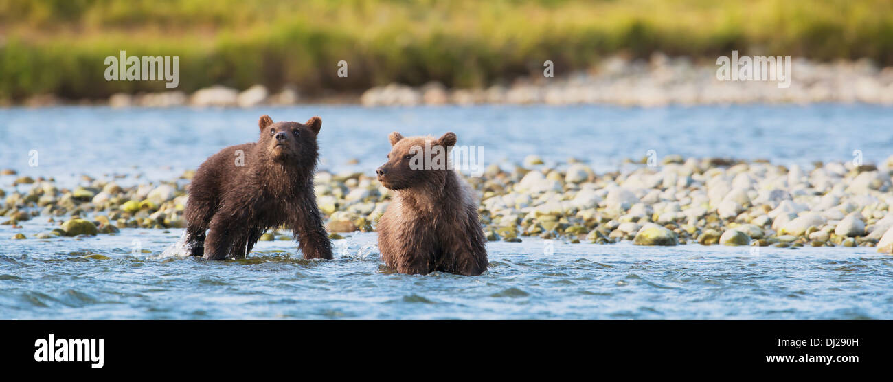 Brown Bear Cubs Angeln auf Lachs In Mikfik Creek, Mcneil River State Game Sanctuary, Südwest-Alaska, Sommer Stockfoto