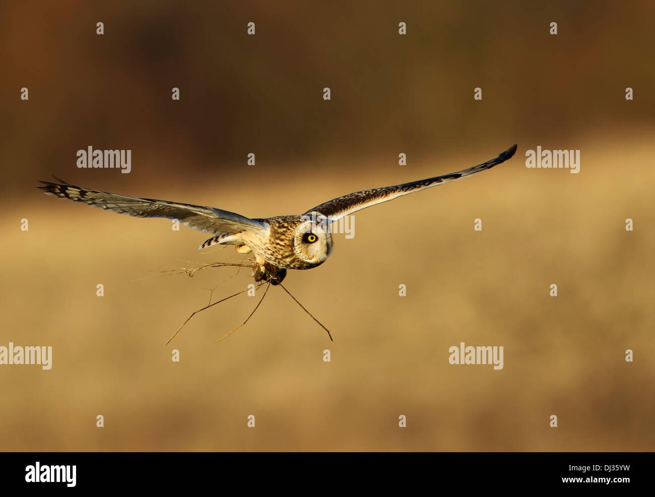 Short eared owl im Flug mit einem vole in der talons Stockfoto