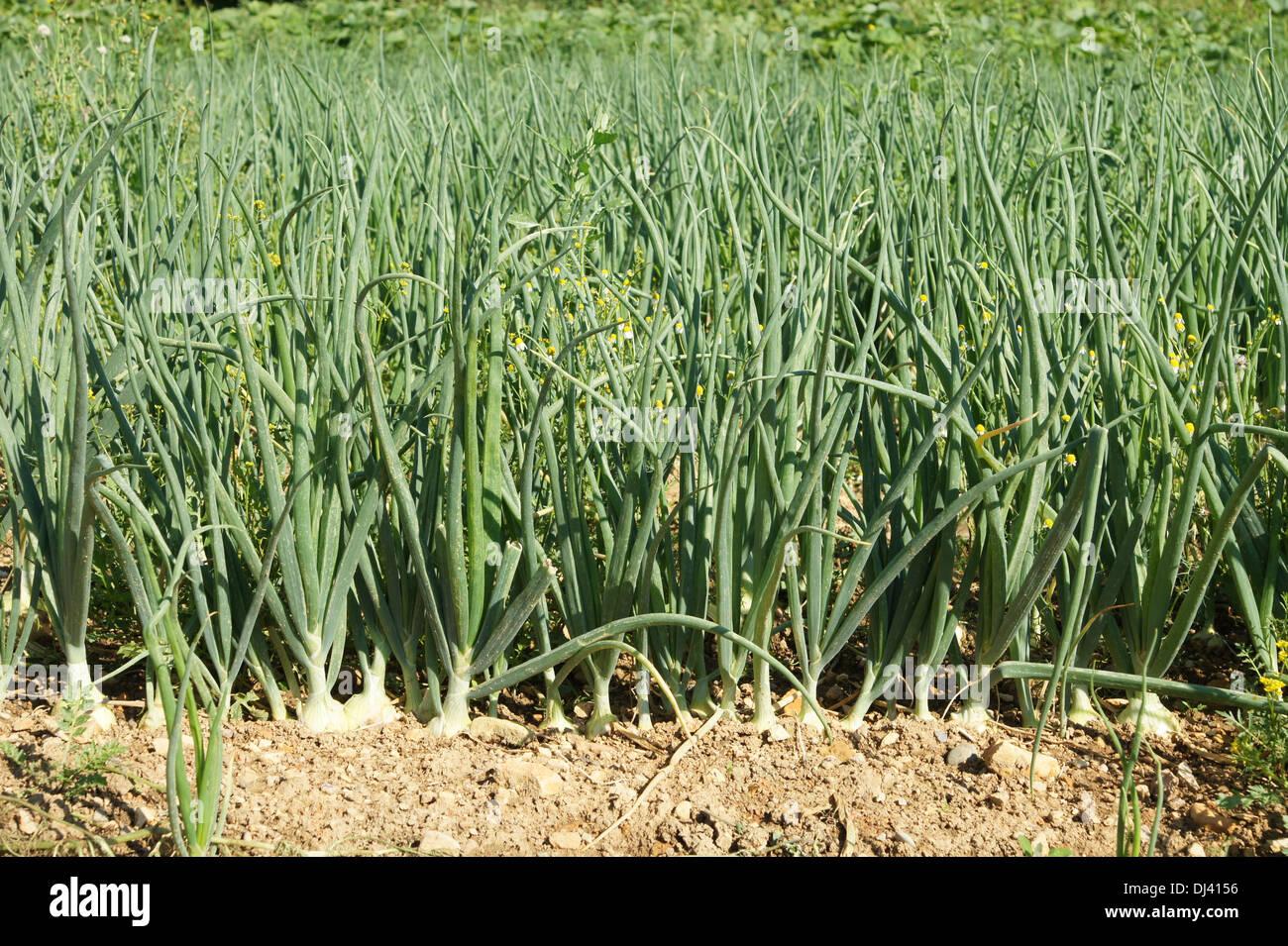 Allium Cepa, Speisezwiebeln, Zwiebeln Stockbild