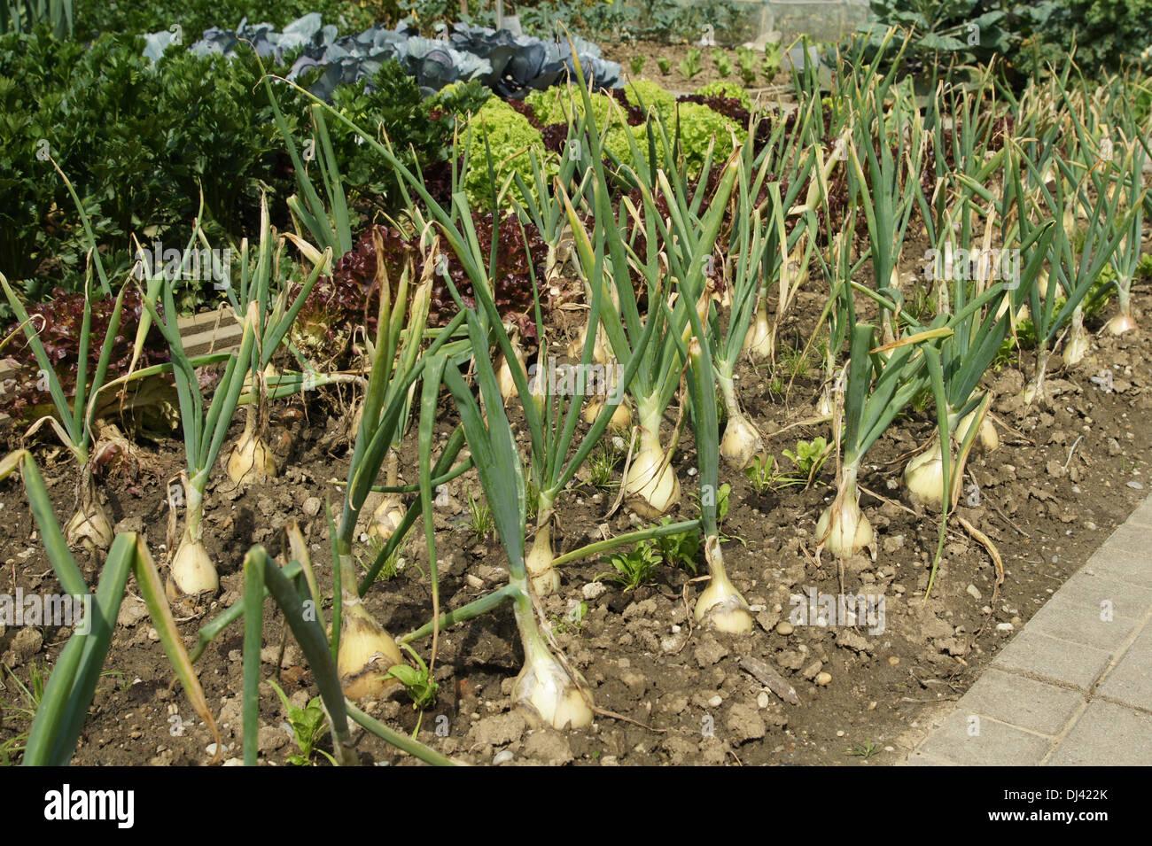 Allium Cepa, Küchenzwiebeln, Zwiebeln Stockbild
