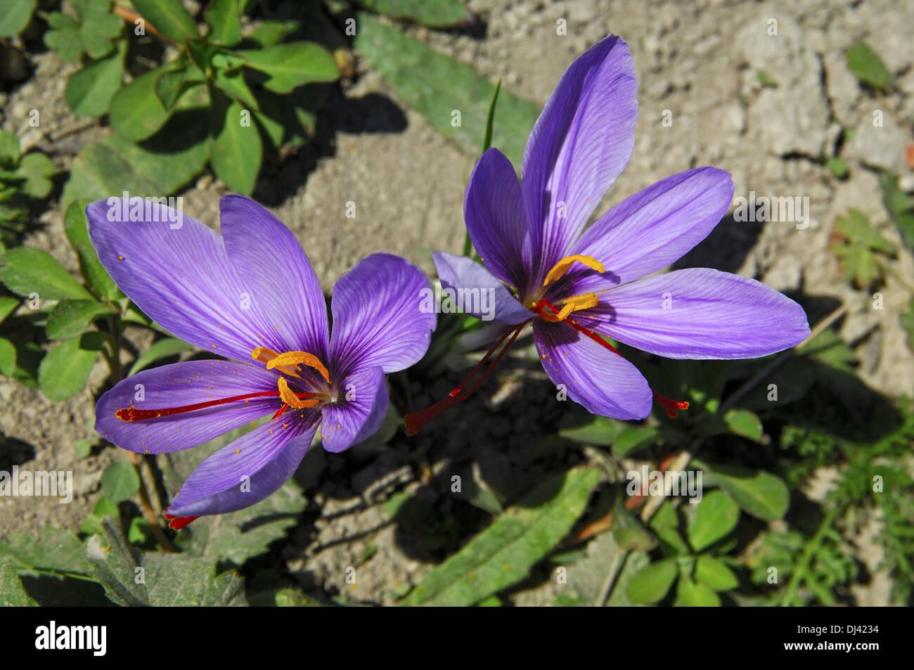 Safran Blume, Munder, Wallis, Schweiz Stockbild