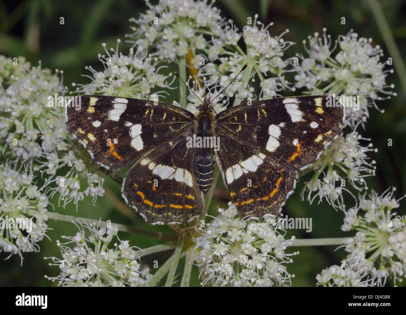 Karte-Schmetterling Stockbild