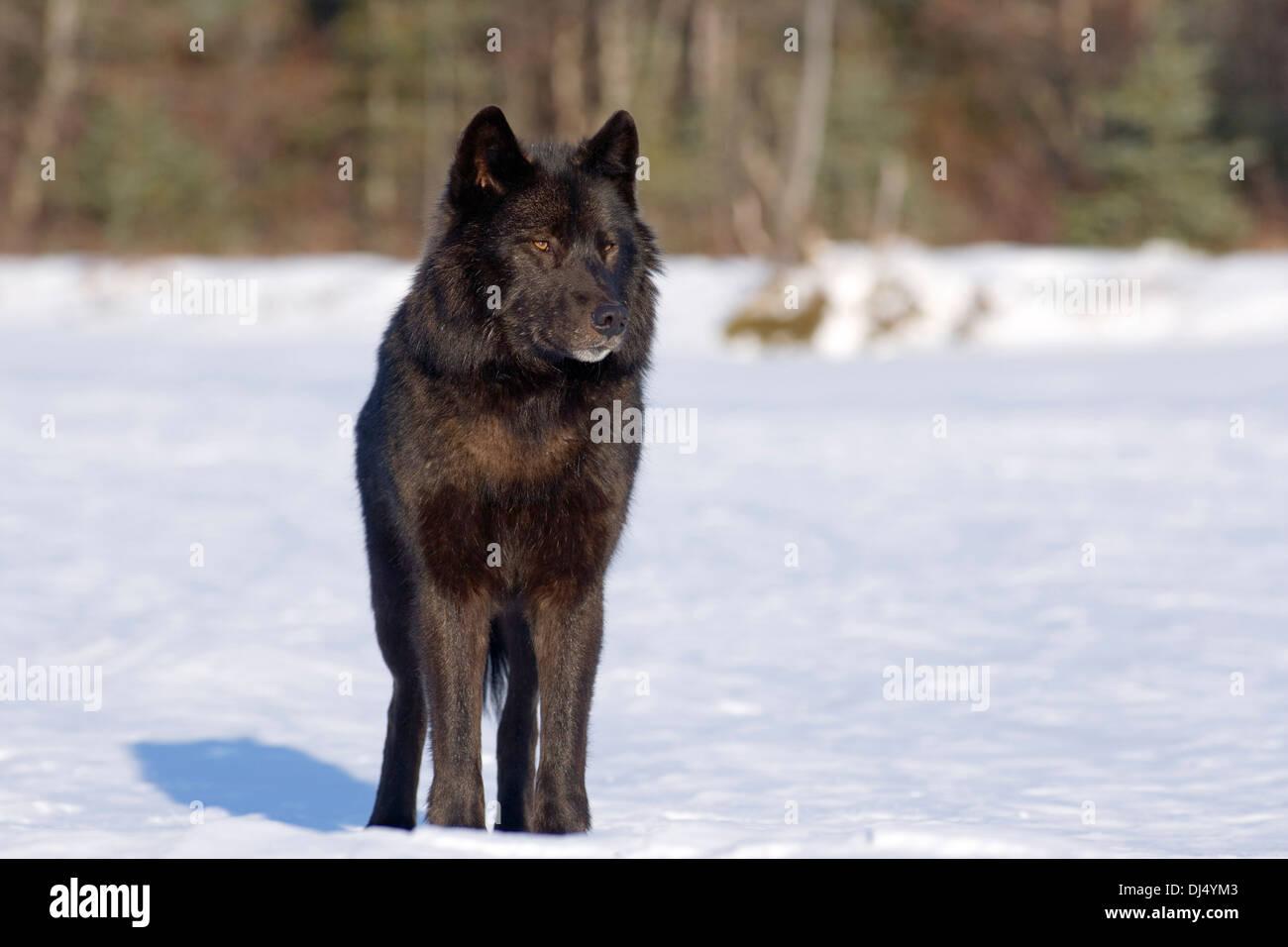 black wolf profile stockfotos black wolf profile bilder alamy. Black Bedroom Furniture Sets. Home Design Ideas