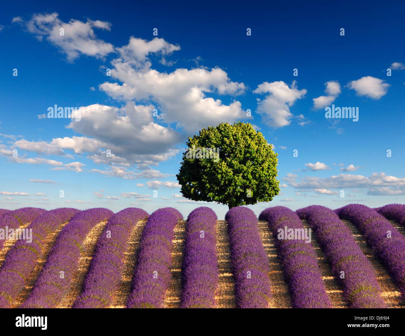 Baum im Lavendelfeld mit Wolken am blauen Himmel. Stockfoto