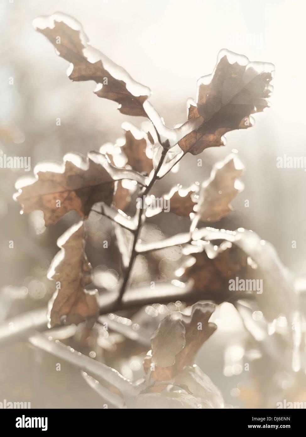 Gefrorene Zweig der Eiche Blätter mit Eis bedeckt. Künstlerische abstrakte Herbst Natur Nahaufnahme. Stockbild
