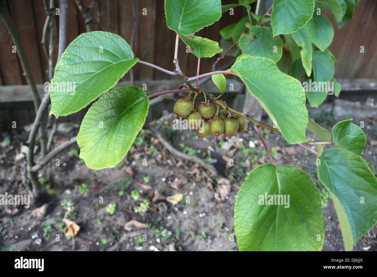 Kiwifrucht wächst im Garten Surrey England Stockbild