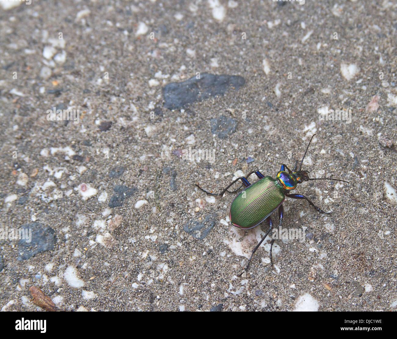 Nahaufnahme der bunten Fiery searcher Käfer Stockbild