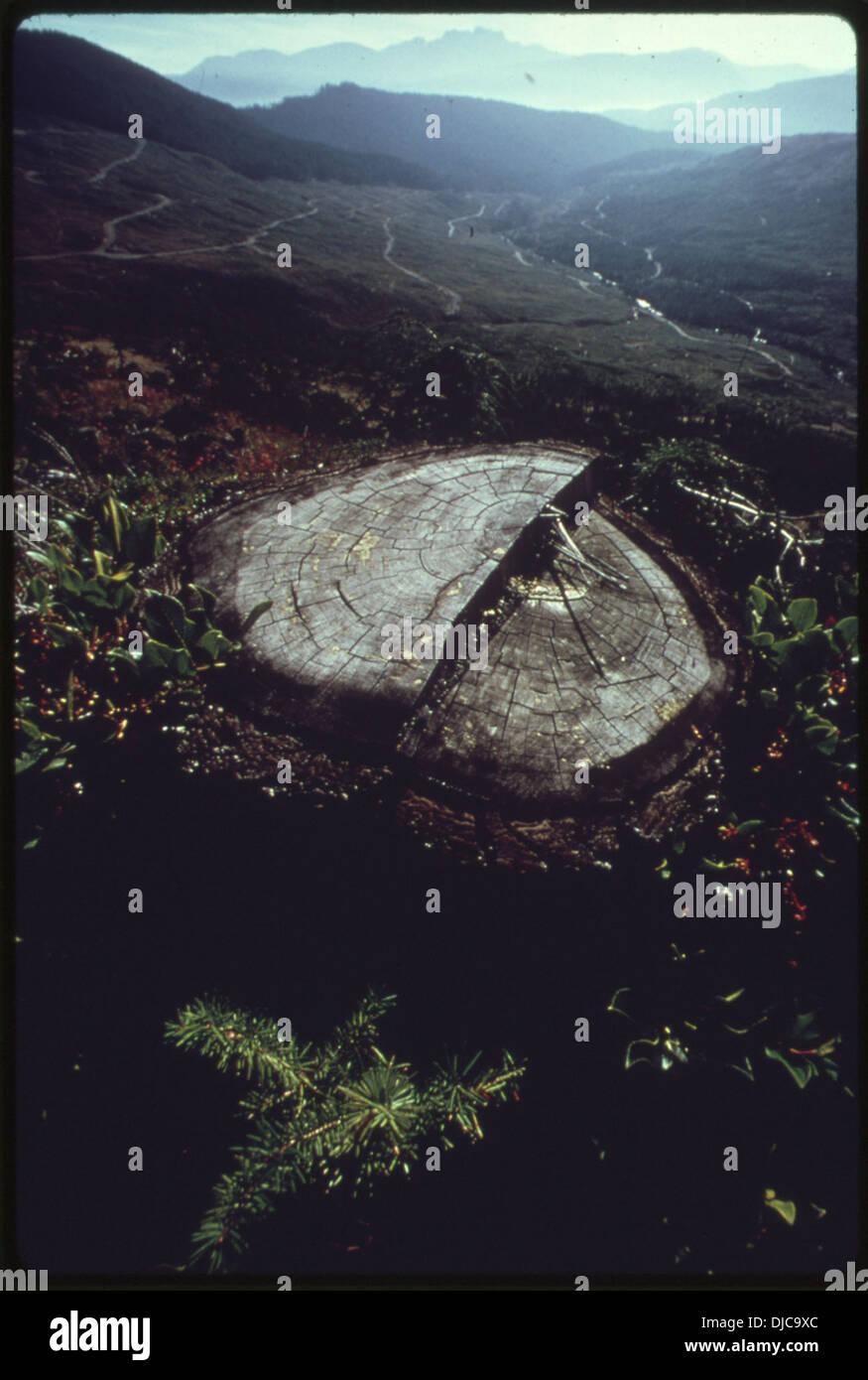 Ein Sämling (bepflanzten) Douglasie und der Stumpf die Douglasie ist es, im Vordergrund eine totale ersetzen. 590 Stockbild