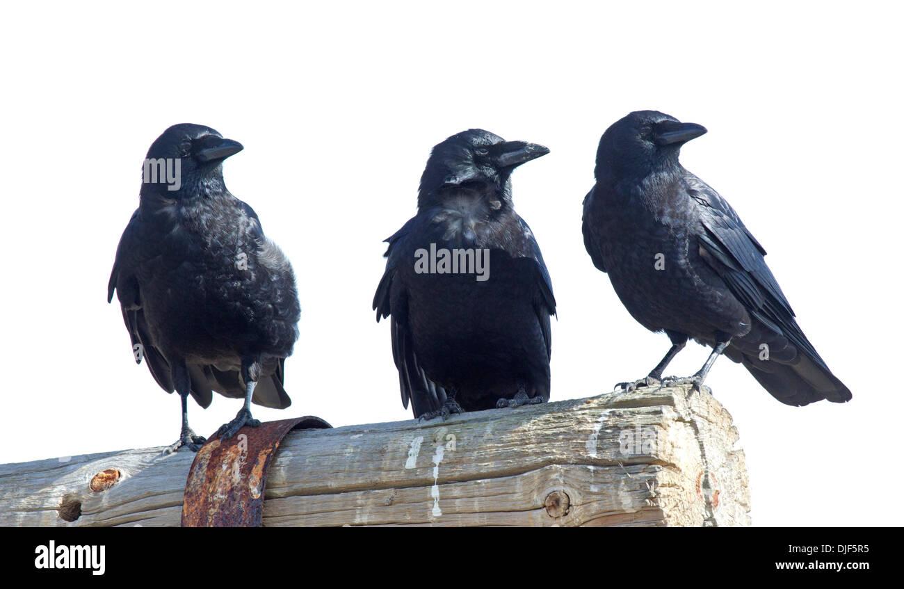 Drei amerikanische Krähen Stockbild