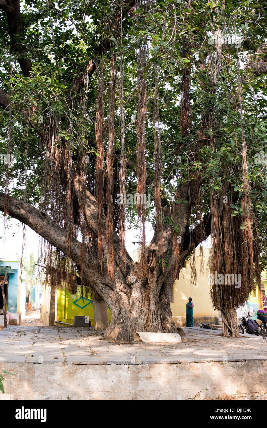 ficus benghalensists indische banyan baum in der mitte von einem indischen dorf andhra pradesh. Black Bedroom Furniture Sets. Home Design Ideas