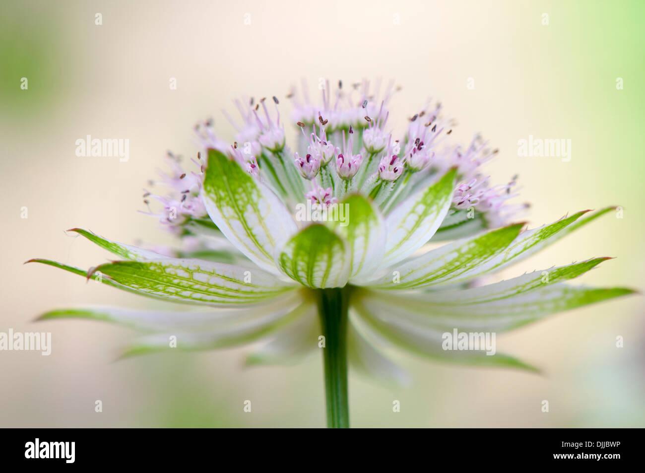 Nahaufnahme Bild einer einzelnen weiß/rosa Astrantia große Blume umgangsprachlich Meisterwurz, Aufnahme auf einem weichen Hintergrund Stockbild