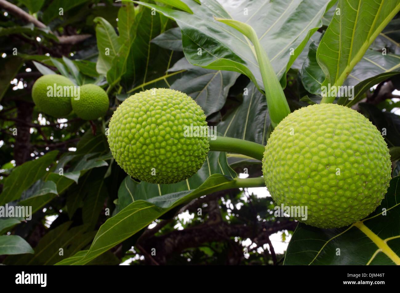 Brotfrucht auf einem Baum in Aitutaki Lagoon-Cook-Inseln. Stockbild