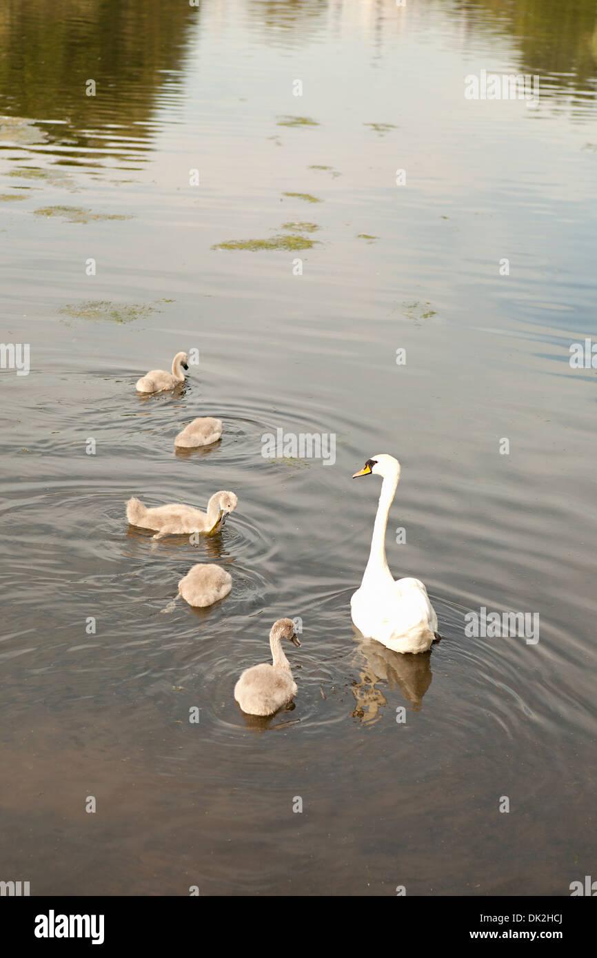 Erhöhte Ansicht der Schwan mit Cygnets am Teich, St. James Park, London, England, Vereinigtes Königreich Stockbild
