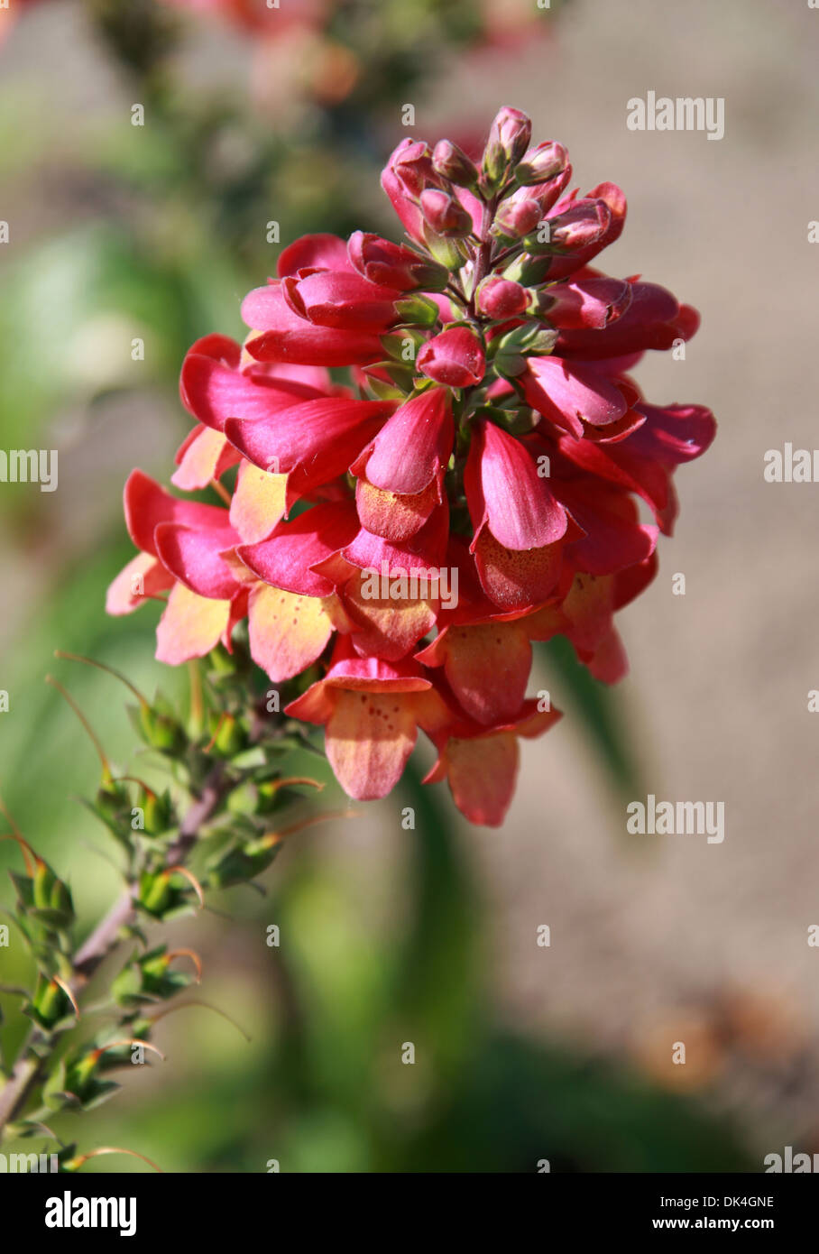 Fingerhut, Digitalis 'Beleuchtung Pink', Scrophulariaceae. Sorte. Stockbild