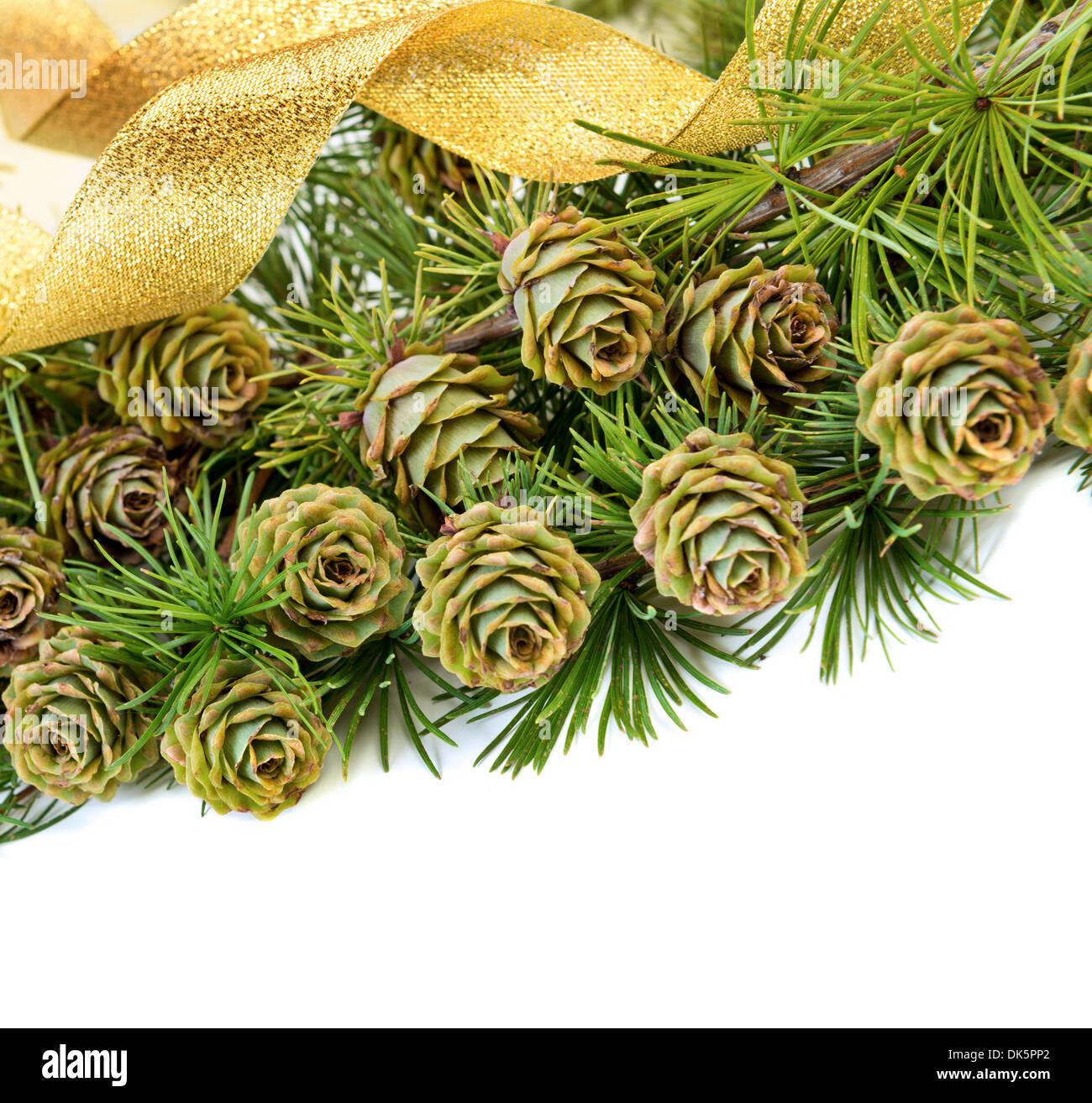 Zapfen, immergrüner Baum Ast auf weißem Hintergrund mit Textfreiraum Stockbild