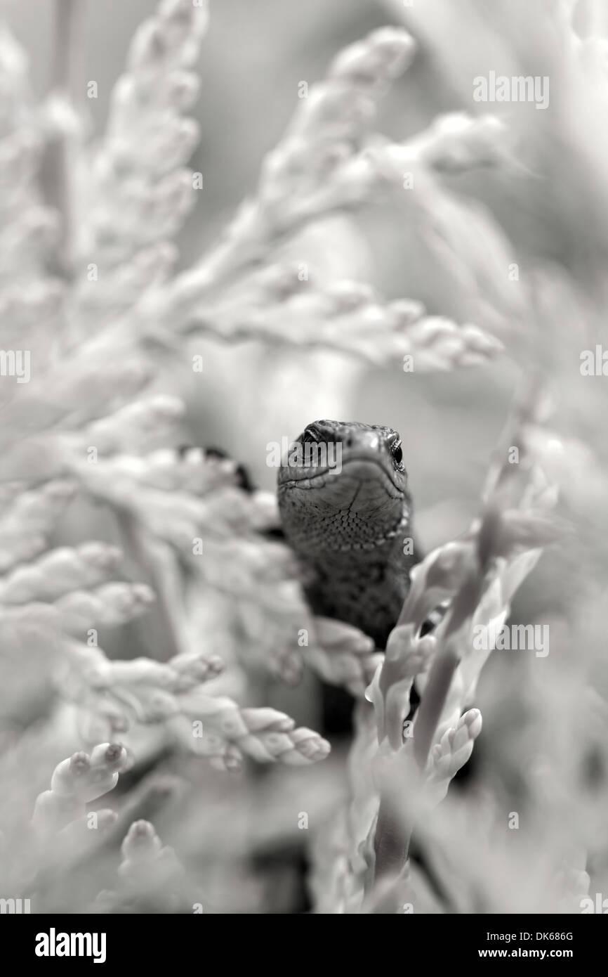 Kleine lebendgebärend Eidechse auf der Suche auf einer Pflanze Stockfoto