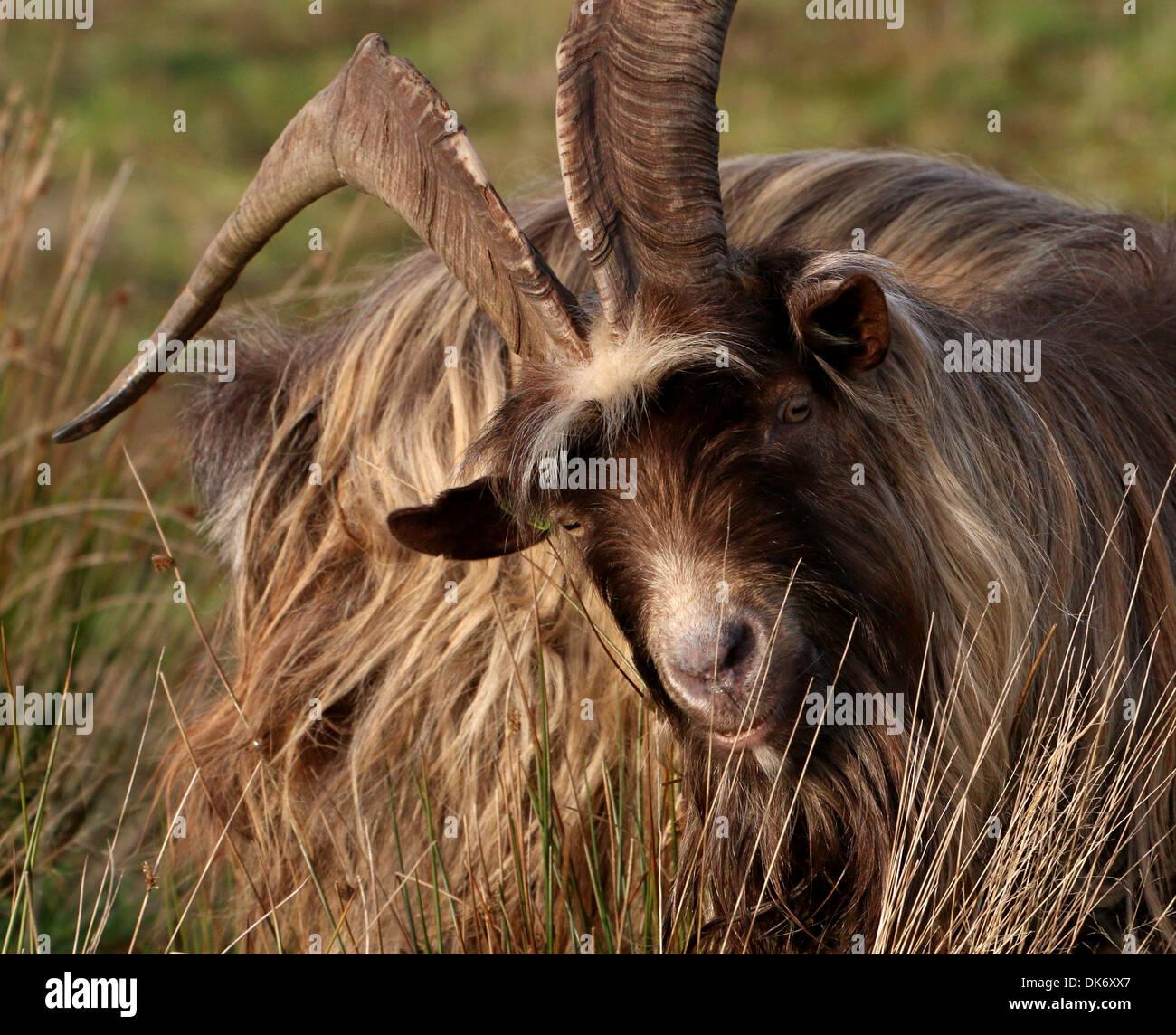 Nahaufnahme des Kopfes und der Oberkörper von einem männlichen Ziegenbock in einer Herde von Ziegen niederländischen Landrasse Stockbild