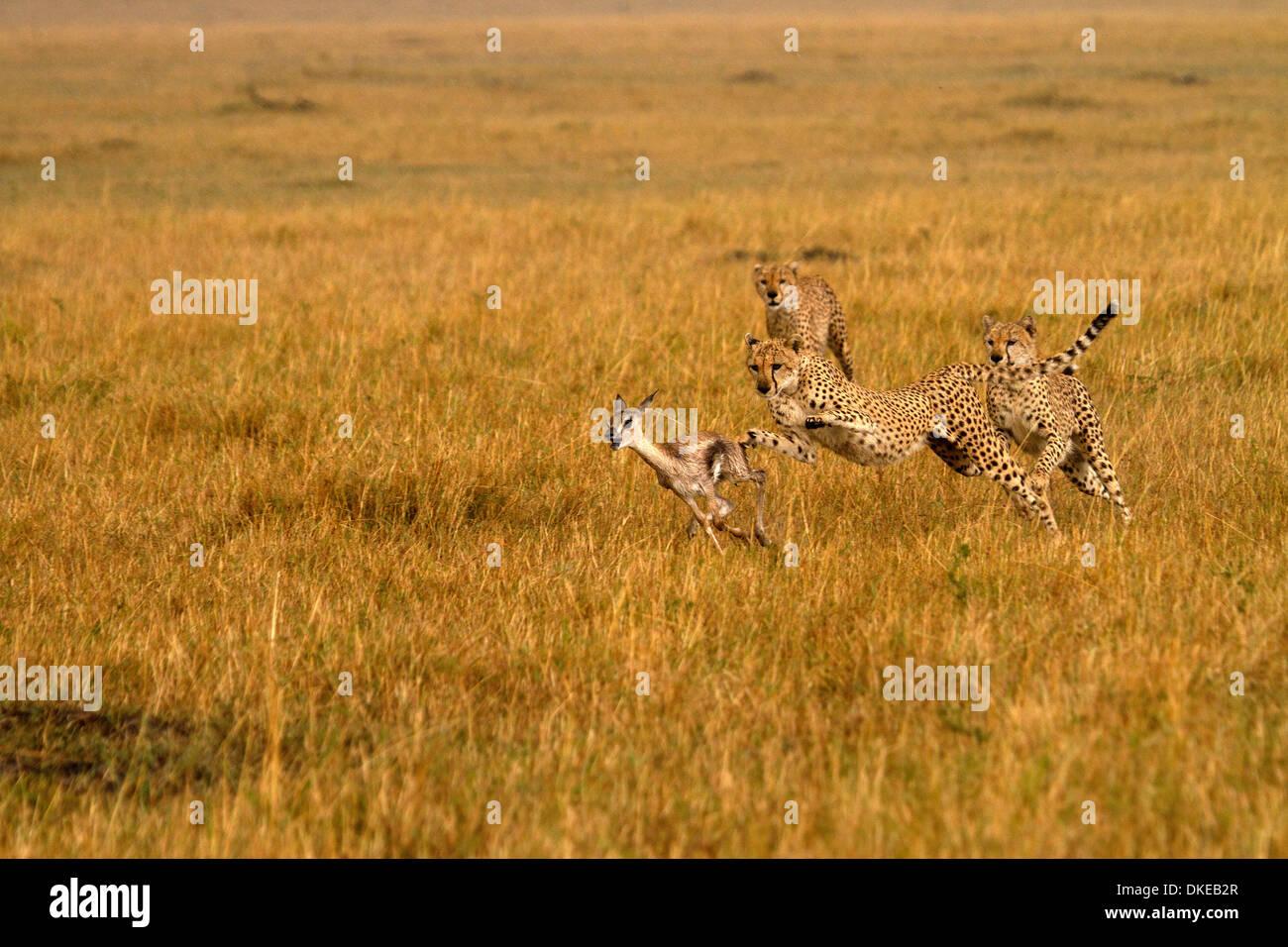 Geparden, Acinonyx Jubatus jagen Beute Stockbild