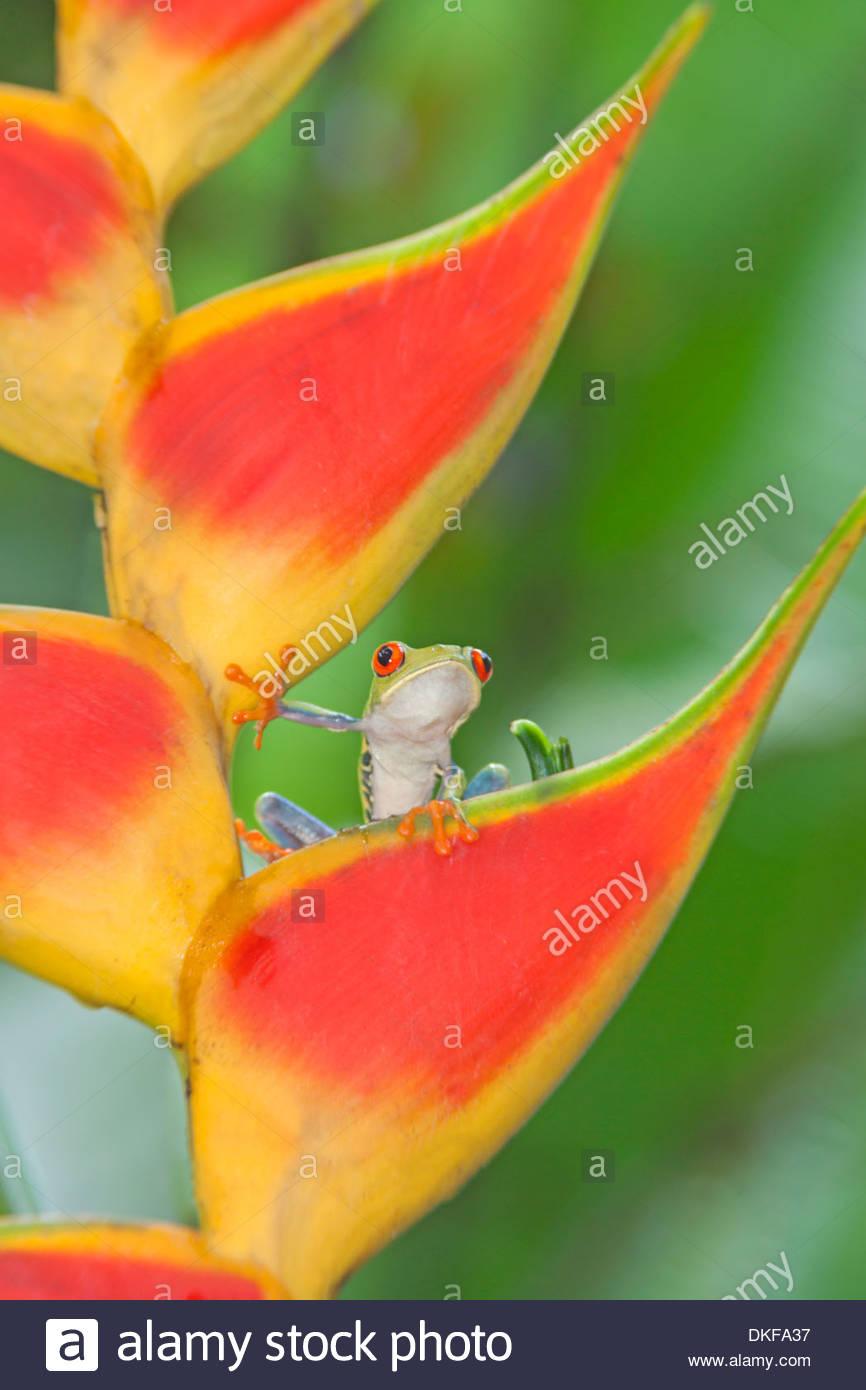 Rotäugigen Baumfrosch (Agalychnis CallidryasAgalychnis CallidryasAgalychnis Callidryas) auf bunte Blatt, Costa Rica Stockbild