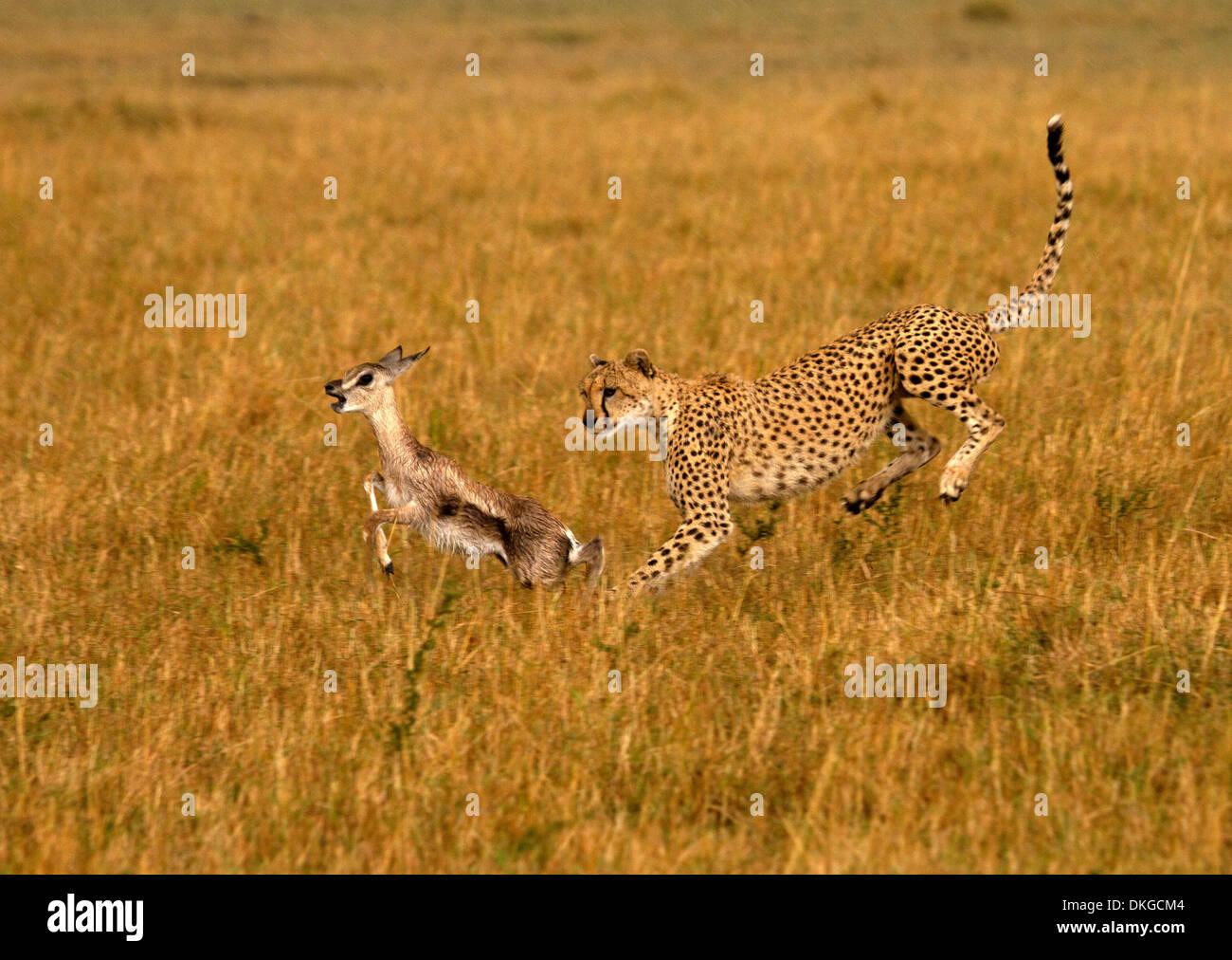 Gepard, Acinonyx Jubatus jagen Beute Stockbild