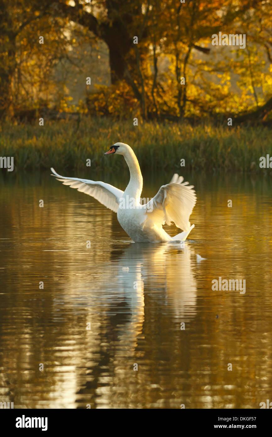 Höckerschwan im goldenen Stunde Stockbild