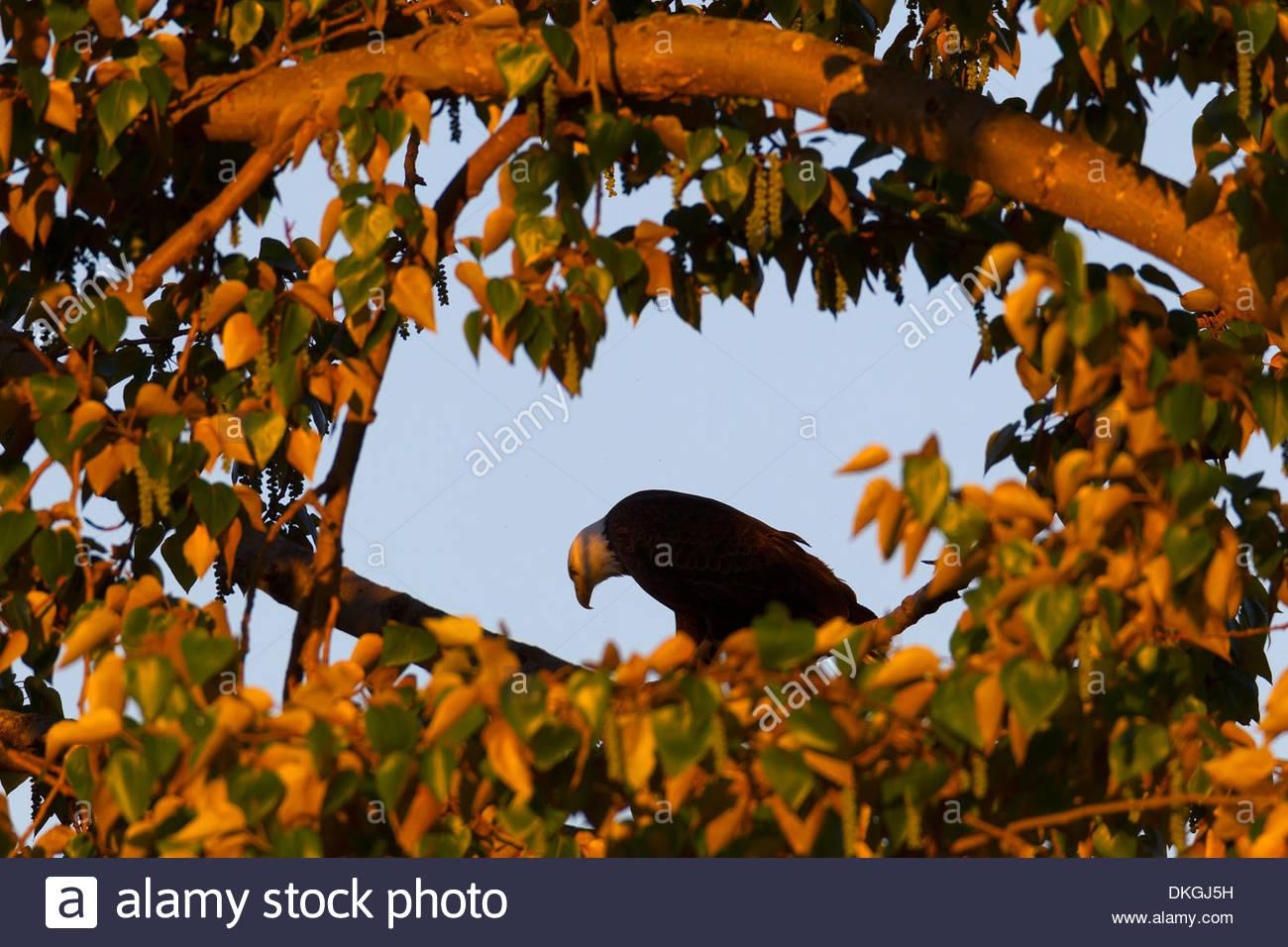 Ein Erwachsener Weißkopf-Seeadler (Haliaeetus Leucocephalus) schaut auf der Suche nach Nahrung aus seinem Ast in einem Pappel Baum. Stockbild