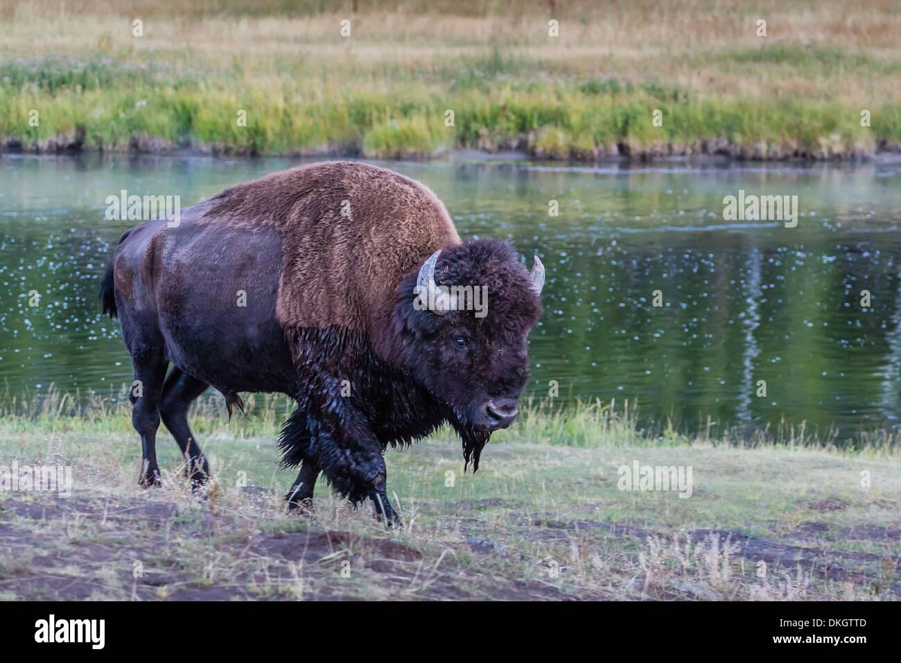 Einsamer Bisons (Buffalo) (Bison Bison) unterwegs im UNESCO-Weltkulturerbe, Yellowstone-Nationalpark, Wyoming, USA Stockbild