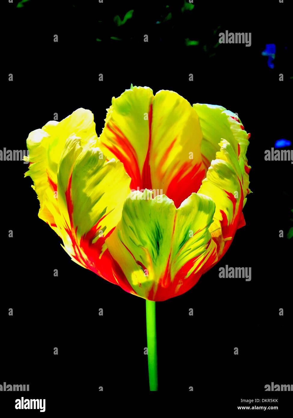 Blumen, Pflanzen, Tulpe, rot, gelb, Blüte, Schnörkel, Blumen Tasse, Konzepte, Stockbild