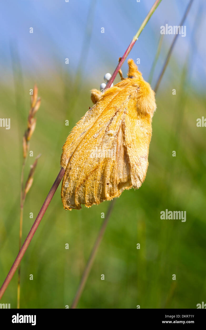 Der Trinker Motte (Euthrix Potatoria) Erwachsenfrau Verlegung Eiern auf einem Rasen-Stiel. Ceredigion, Wales. Juli. Stockbild