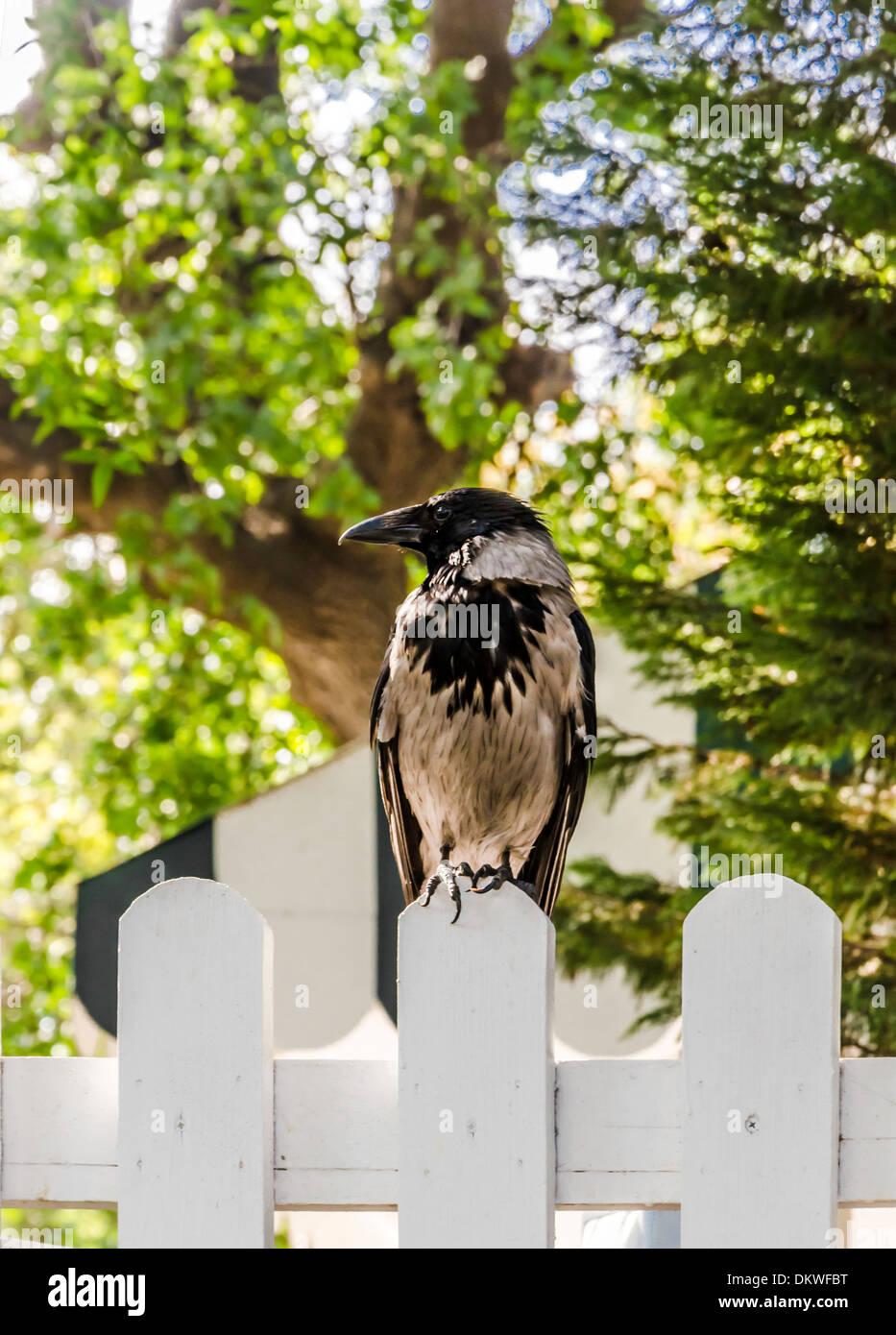 Eine Krähe auf einem Zaun sitzend. Stockbild