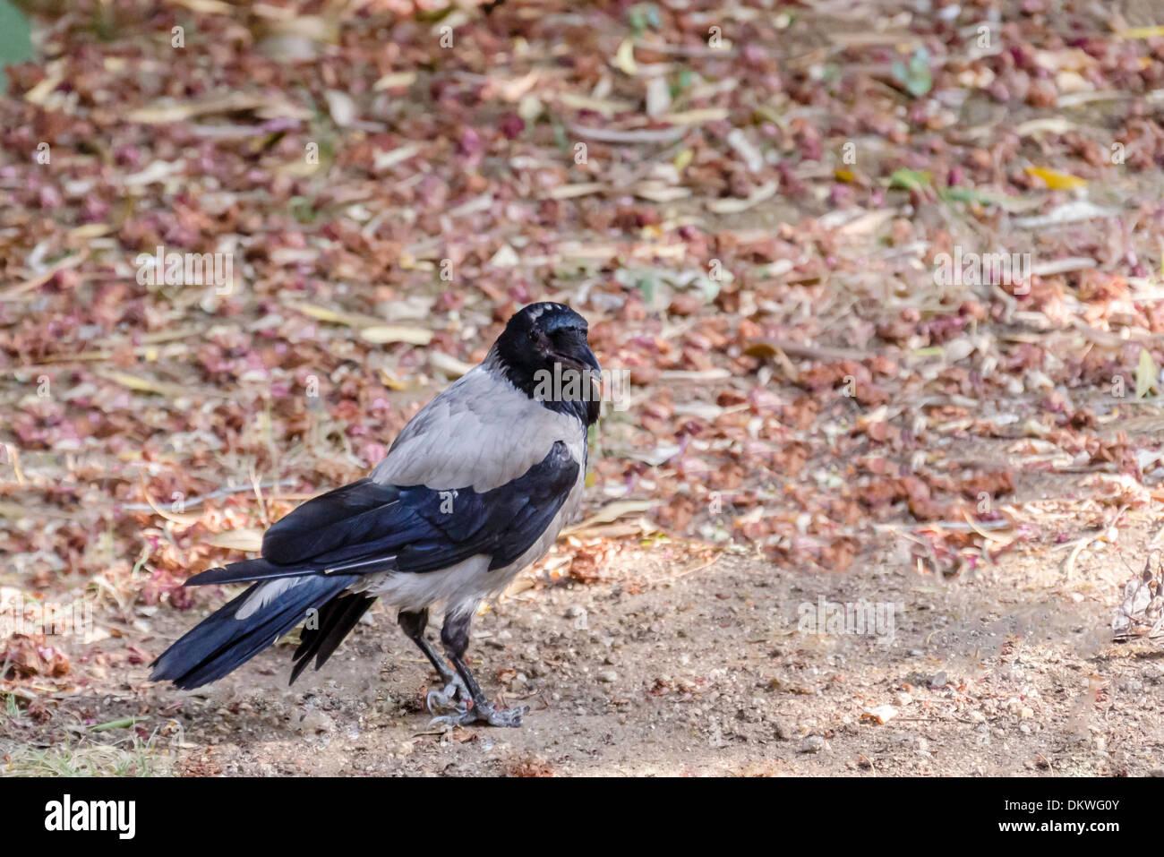 Eine Krähe saß auf einem Feld. Stockbild