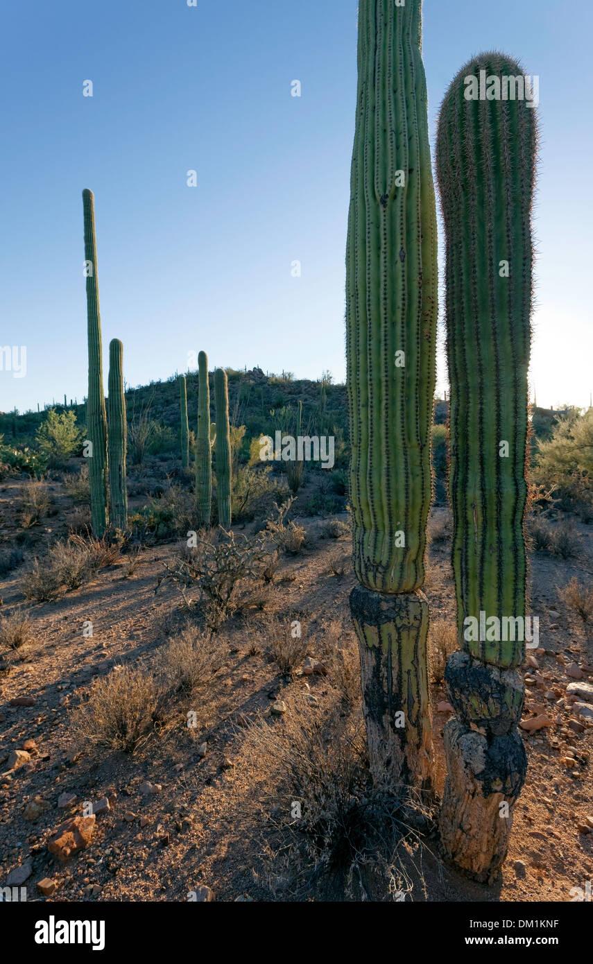 Saguaro-Kaktus (Carnegiea Gigantea), Saguaro West National Park, Tucson, Arizona Stockfoto