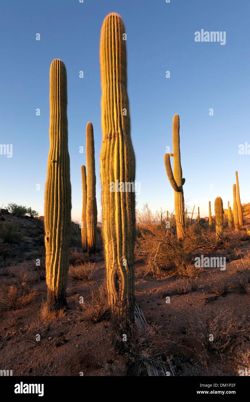 Gigantischen Saguaro Kaktus (Carnegiea gigantea), Saguaro National Park West Einheit, Tucson, Arizona Stockfoto