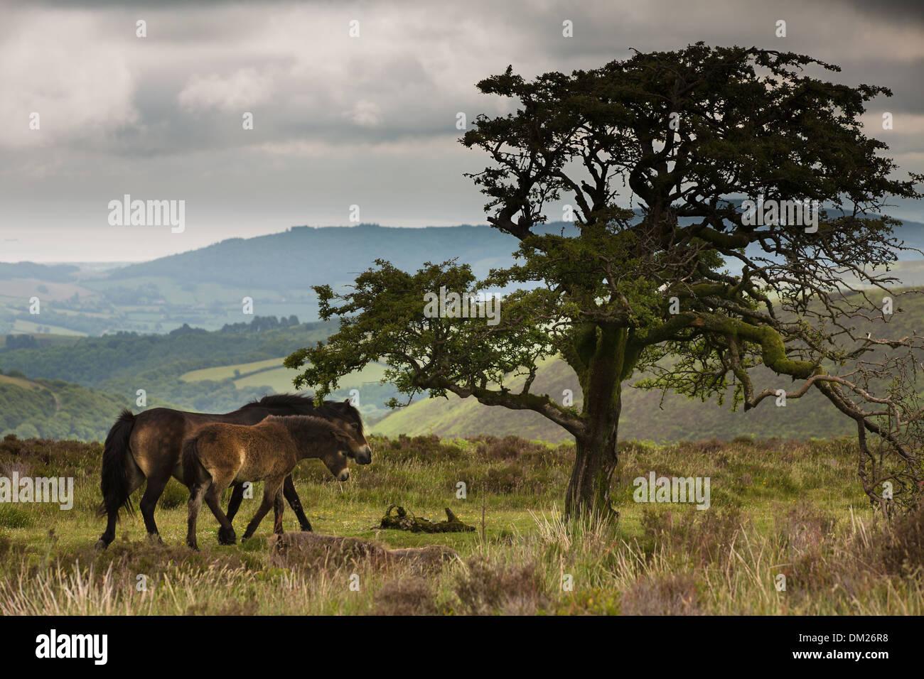 Wildpferde auf Exmoor, Somerset, England Stockbild