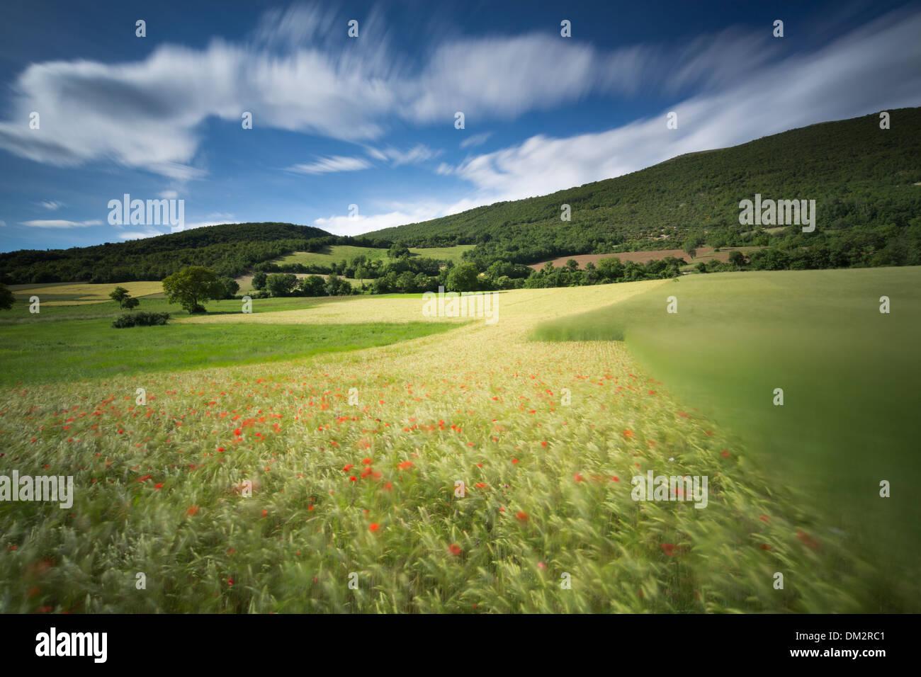 Klatschmohn im Gerstenfeld in der Nähe von Campi, Umbrien, Italien Stockbild
