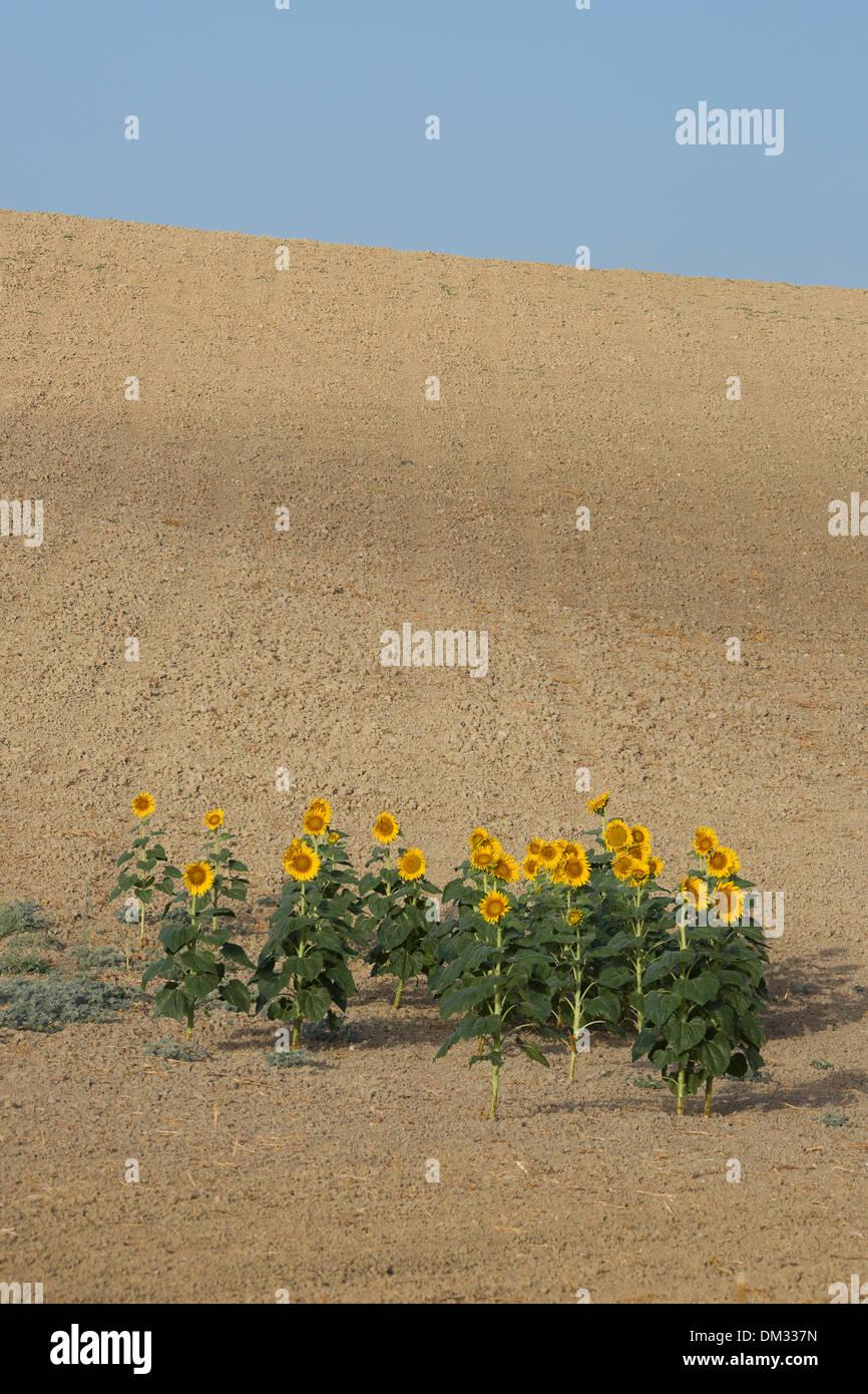 Cadiz Andalusien Blumen Haus Landschaft Spanien Europa Landwirtschaft Sommer Sonnenblumen Blumen gelb grün Stockbild